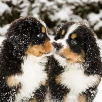 "wedding photo - Puppies For All! On Instagram: ""Tag Your Nuzzle Buddy!! Bernese Mountain Puppies. Tag Us With  For A Chance To Be Featured! @DogVacay   …"""