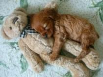 wedding photo - 20 Puppies Cuddling With Their Stuffed Animals During Nap Time