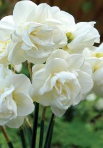 wedding photo - Double Daffodils - LikesLivedan330