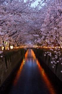 wedding photo - Cherry Blossom @ Meguro River
