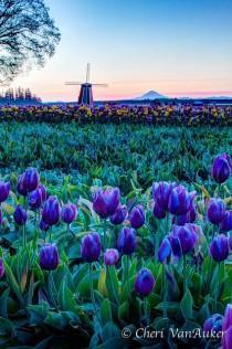 wedding photo - Wooden Shoe Tulip Farm