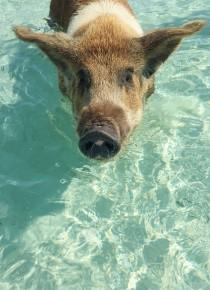 wedding photo - Swim With Pigs In This Caribbean Honeymoon Paradise