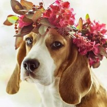 wedding photo - Beagle – Friendly And Curious