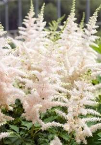 wedding photo - Astilbe 'Milk And Honey' - Hallson Gardens