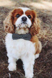 wedding photo - Cavalier King Charles Spaniel