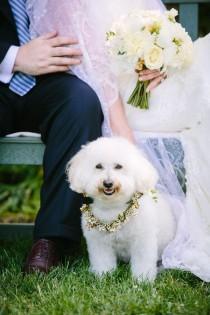 wedding photo - Bichon Babies