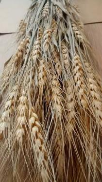 "wedding photo - Dried Wheat Bunches (10 bundles) 22""-25"" - Perfect For Your Rustic Country Wedding Decorations"